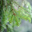 Pine tree close-up — Stock Photo #32830473