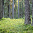 Dark pine forest scene — Stock Photo