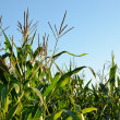 Corn field close-up at the sunset — Stock Photo