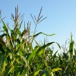 Corn field close-up at the sunset — Stock Photo #32830611