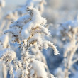 Hoar-frost on plants in winter — Stock Photo