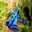 Colorful blue frog Dendrobates tinctorius — Stock Photo #32831285