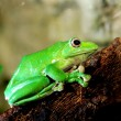 Colorful green frog Polypidates dennysii — Stock Photo