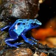 Colorful blue frog Dendrobates tinctorius — Stock Photo