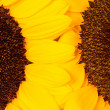 Two sunflowers close-up — Stock Photo