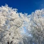 Hoar-frost on trees in winter — Stock Photo #32831591