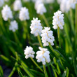 White flowers close-up in spring — Stock Photo