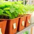 Foto de Stock  : Plants are being grown in laboratory