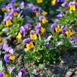 Heartsease flower (Viola tricolor) in spring — Stock Photo