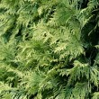Juniper close-up — Stock Photo