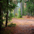 Pine forest scene — Stock Photo