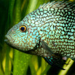 Tropical fish in aquarium — Stock Photo #32832777