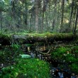 Small river in a dark pine forest scene — Stock Photo