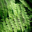 Fern close-up in the forest — Stock Photo