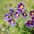 Purple flowers close-up in spring — Stock Photo