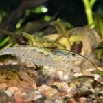在水族馆的异国情调淡水虾 — 图库照片 #32833285