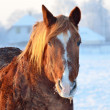Horse close-up in winter — Stock Photo
