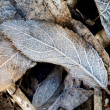 Hoar-frost on leaves — Stock Photo