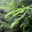 Pine tree close-up — Stock Photo #32834161