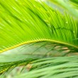 Palm leaves close-up — Stock Photo #32834285