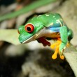 Stock Photo: Red-eye tree frog Agalychnis callidryas in terrarium