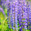 Lupine flowers close-up — Stock Photo