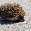 Wild hedgehog on the asphalt road — Stock Photo