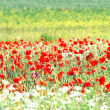 Stock Photo: Poppy field in Latvia