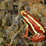 Red frog in terrarium — Stock Photo #32835077