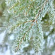 Pine tree covered with frost close-up — Stock Photo #32835339