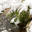 Pine tree at the small river bank in snowy winter — Stock Photo
