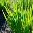 Green grass close-up in spring — Stock Photo