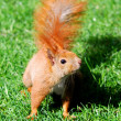 Cute orange squirrel standing on the grass in sunny day — Stok fotoğraf