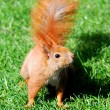 Cute orange squirrel standing on the grass in sunny day — Stock fotografie