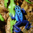 Colorful blue frog sitting in terrarium — Stock Photo #32835993