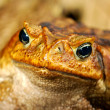 Large tropical toad close-up — Stock Photo #32836187