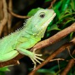 Colorful green lizard close-up — Stock Photo