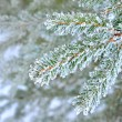 Pine tree covered with frost close-up — Stock Photo