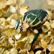 Stock Photo: Large scarab beetle Mecynorrhinpolyphemus