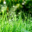 Green grass close-up — Foto de Stock