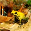 Colorful yellow frog Fillobates terribilis — Stock Photo