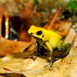Stock Photo: Colorful yellow frog Fillobates terribilis
