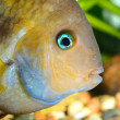 Cichlasoma sajica fish in aquarium — Stock Photo