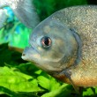 Piranhin aquarium — Stock Photo #32838179