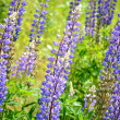 Lupine flowers close-up — Foto de Stock