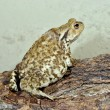 European common toad — Stock Photo
