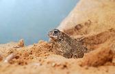 Terrarium içinde kum kurbağa — Stok fotoğraf