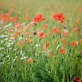 A poppy field close-up — Stock Photo