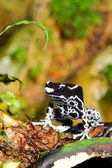 Colorful frog Dendrobates tinctorius — Stock Photo