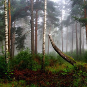 A north forest in fog. Latvia — Stockfoto